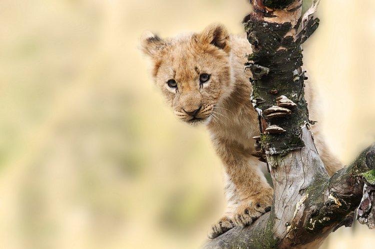 Взоопарке Уфы родились львята