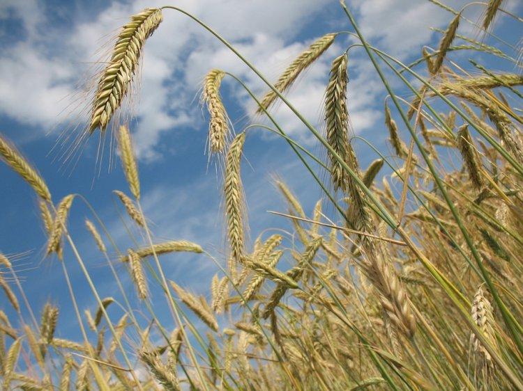 Брянские аграрии собрали 1-ый млн тонн зерна урожая