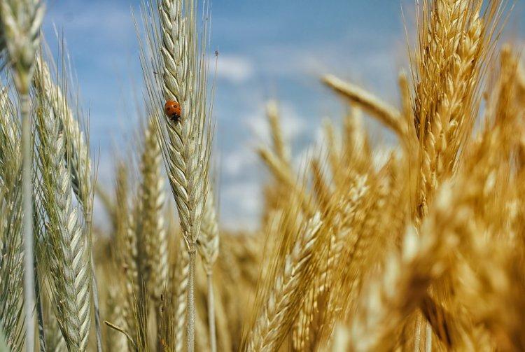 Аграрии Башкирии собрали больше зерна, чем в прошлом году