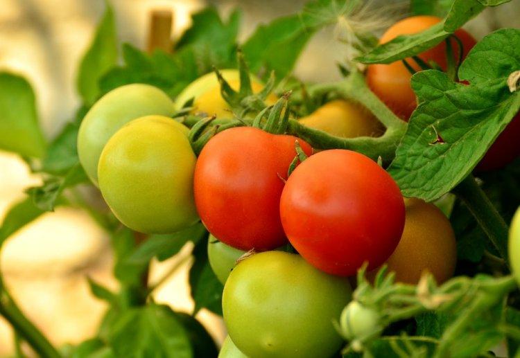 В Башкирии будут развивать технологии тепличного роста томатов
