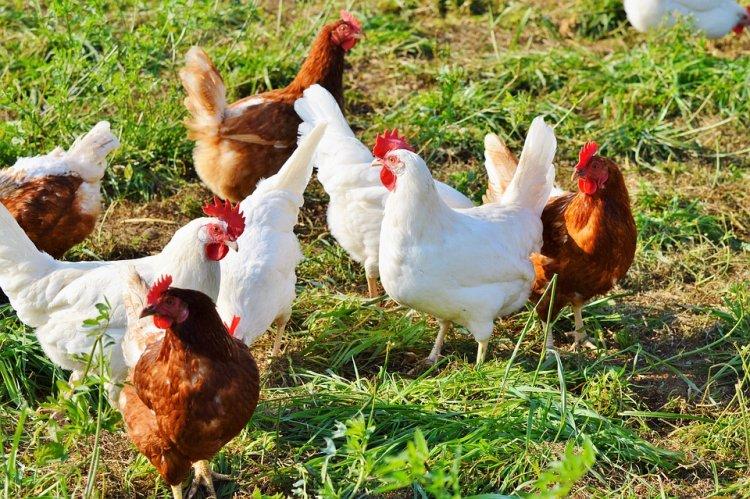 Курица в 70-х годах была в шесть раз полезнее современных