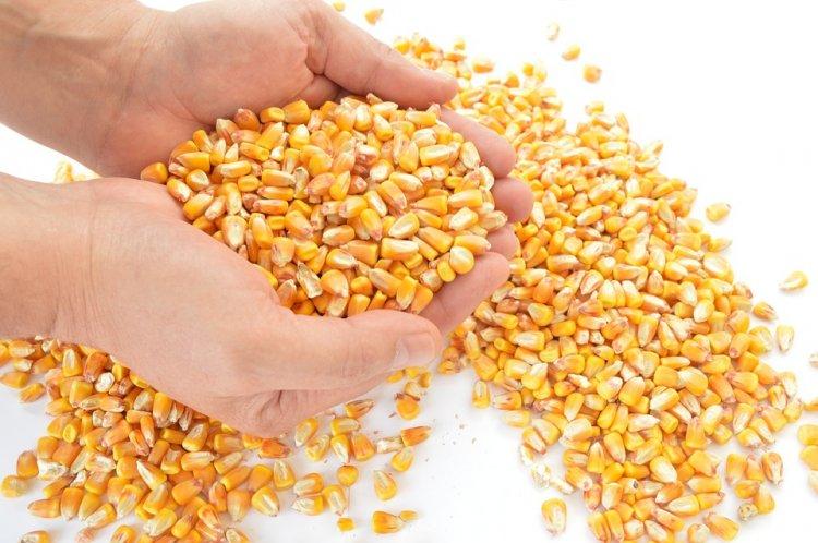 В Башкирии урожайность кукурузы на зерно превышает прошлогодний показатель почти в 2 раза