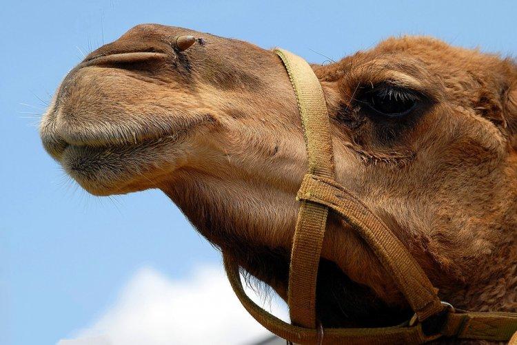 В Башкирии беспечный всадник на верблюде едва не попал в ДТП