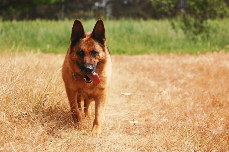 Госдума повторно приняла закон о запрете контактной притравки собак
