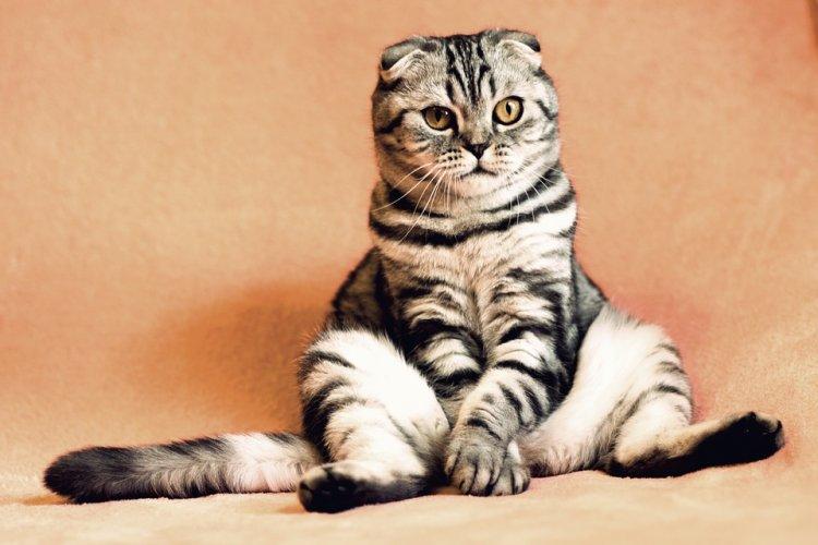 Уфимцы чаще всего заводят кошек шотландской породы