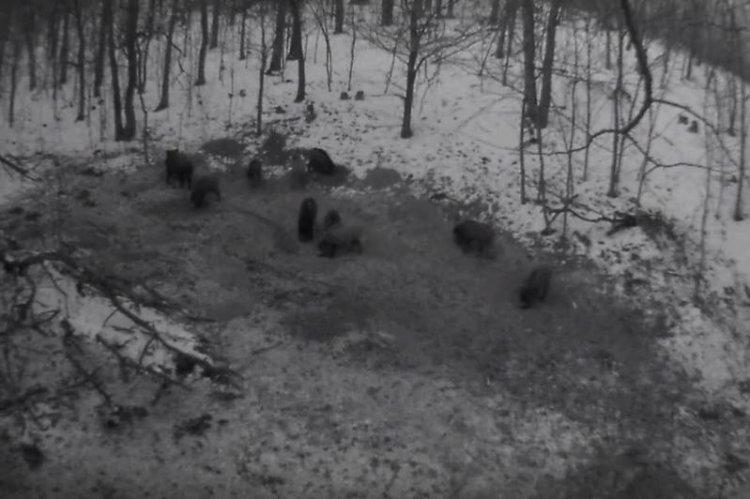 В Башкирии в объектив фотоловушки попались 10 диких кабанов