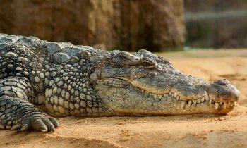 На трассе в Башкирии нашли крокодила