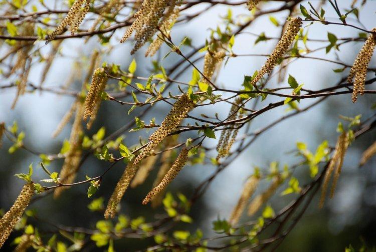 На Яндекс.Погоде появилась карта пыльцы для аллергиков Уфы