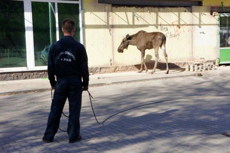 В Уфе разбивший витрину магазина лось умер до приезда ветеринаров
