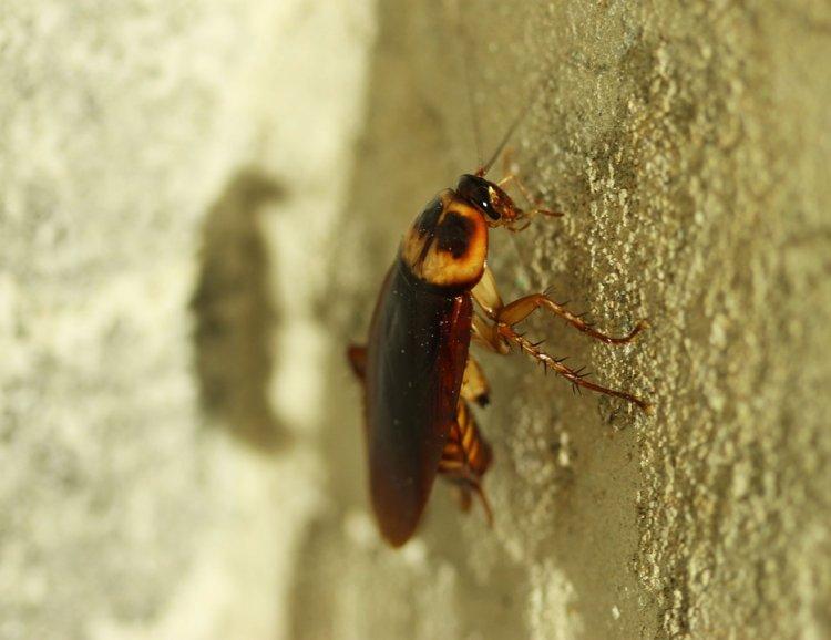 Людям нужно беречь свои уши от тараканов