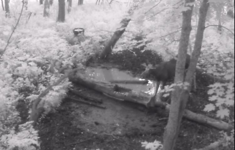 В Башкирии в объектив фотоловушки попался лось