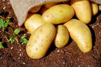 В Башкирии площади с картофелем в сельхозпредприятиях и КФХ превысили 2 тысячи гектаров