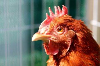Роспотребнадзор Башкирии предупреждает о вспышке птичьего гриппа
