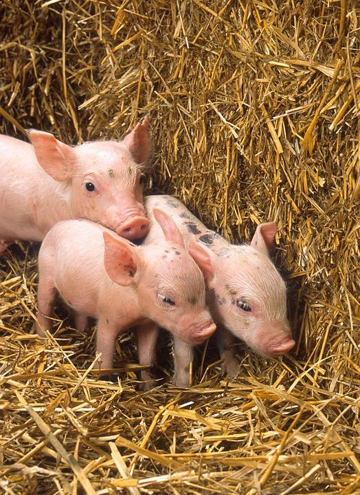 В Башкирскую мясную компанию прибыла вторая партия датских свиней