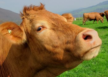 В Башкирии стадо коров напало на троих детей