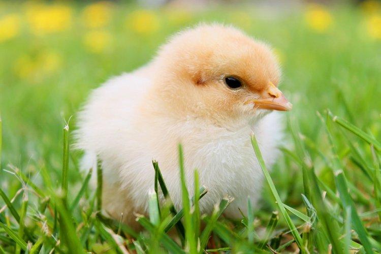 Наблюдения за цыплятами и поросятами помогут похудеть
