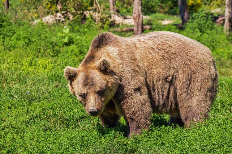 В Аургазинском районе заметили медведя, гулявшего неподалеку от деревни Новые Карамалы