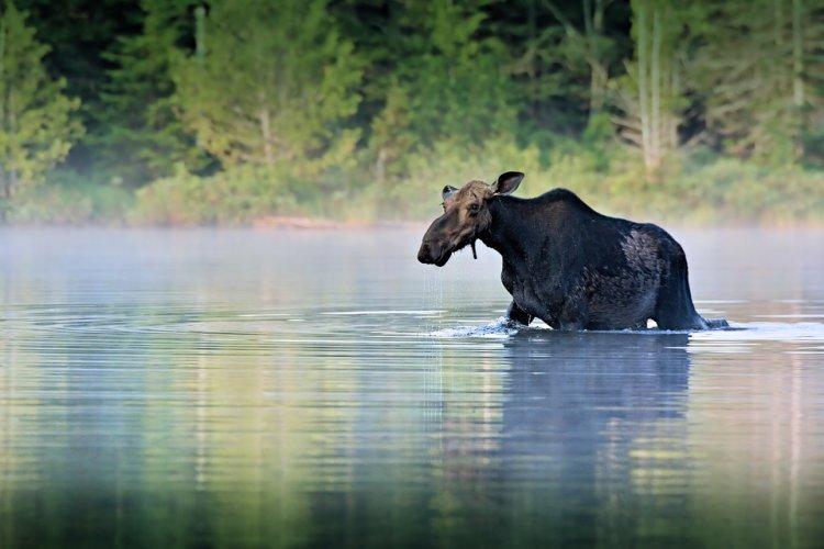 В Башкирии спасли лося, сбежавшего от трех волков