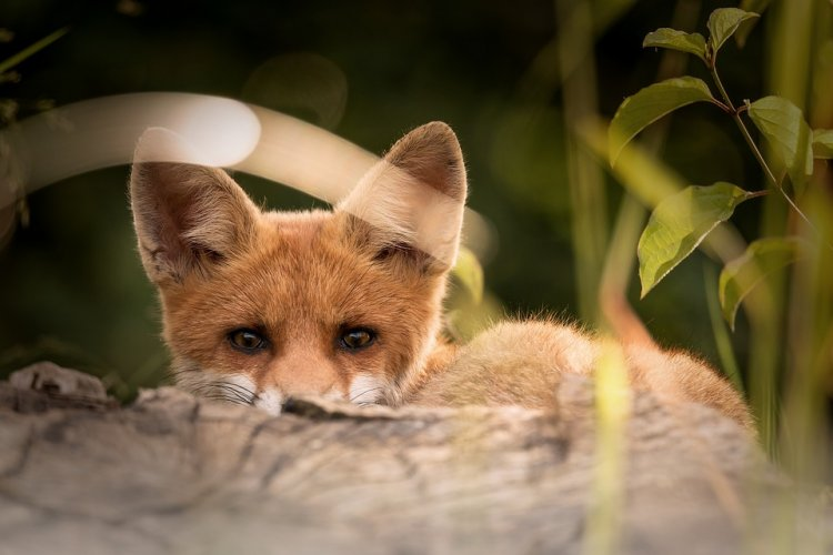 В Уфе дикая лиса устроила охоту на дворового кота