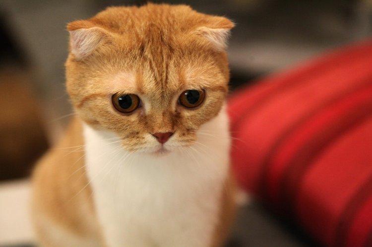 Названы 5 самых добрых пород кошек