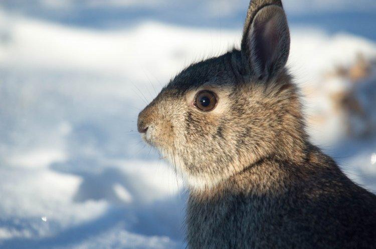 В Башкирии неизвестный хищник перебил девять кроликов