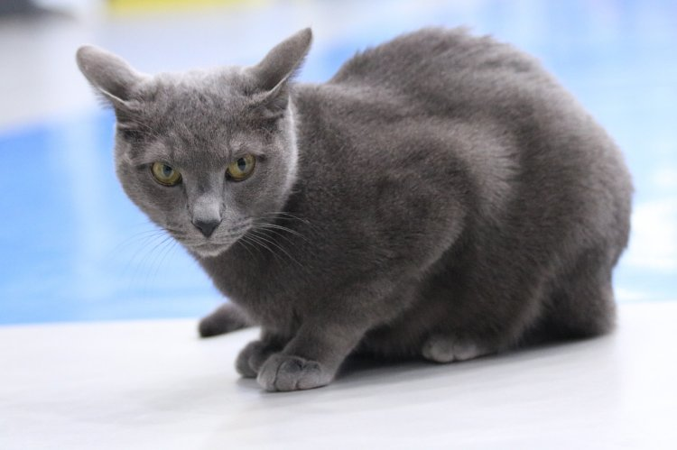 Какой породы выбрать кошку для квартиры?