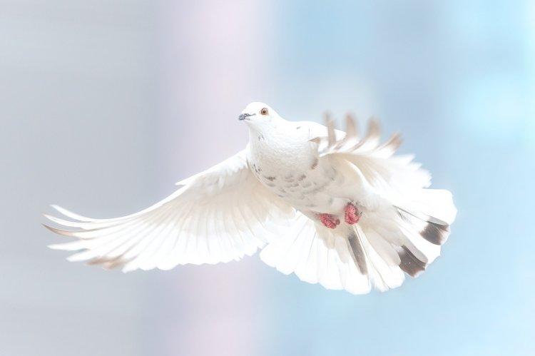 В Уфе пройдет Международный конкурс «Голубь Весны – UFA»