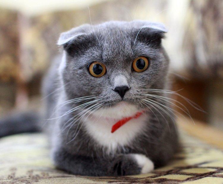 Названа лучшая порода кошек для занятых людей