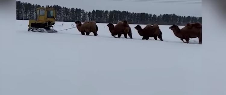 В Башкирии по заснеженному полю прошел караван верблюдов