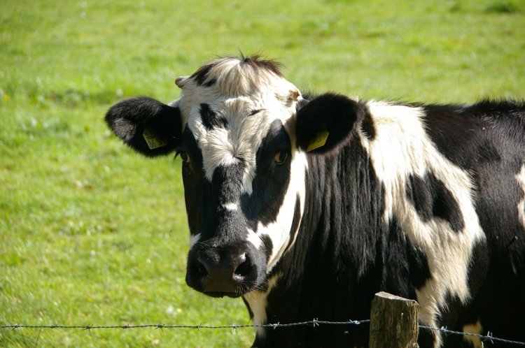 В Башкирию прибыл племенной крупно рогатый скот из Венгрии