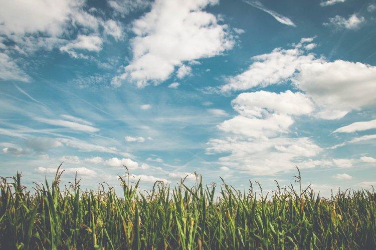 Уфимские ученые переняли опыт кубанских коллег по возделыванию кукурузы