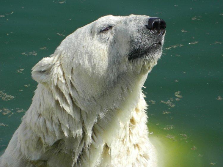 Белым медведям в Московском зоопарке раздали «мороженое»