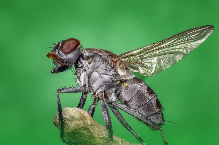 В Уфе обнаружили опасную для человека и животных муху-горбатку
