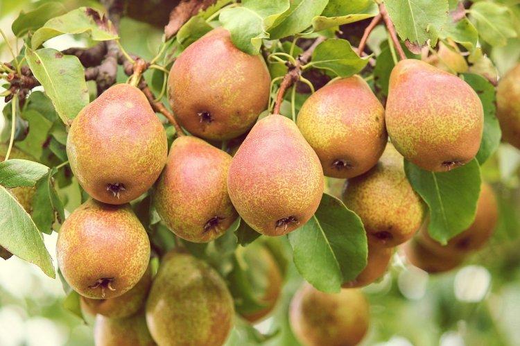 Кому можно, а кому нельзя есть груши: польза и вред вкусных фруктов