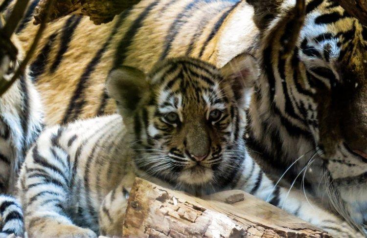 В уфимском зоопарке родились два тигрёнка