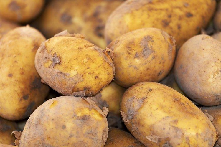 Раскрыта опасность употребления в пищу позеленевшего картофеля