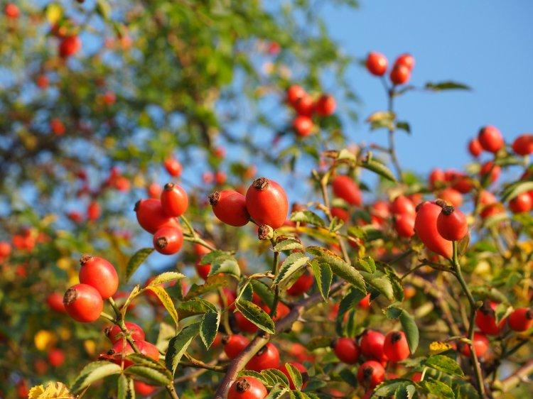 5 растений, которые быстро нормализуют артериальное давление