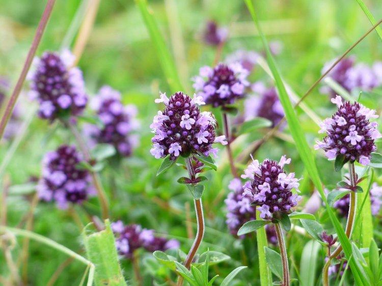 Названа трава, которая лечит более 50 заболеваний
