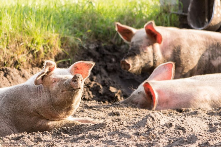 В Башкирии построят два крупных свинокомплекса стоимостью 3 миллиарда рублей