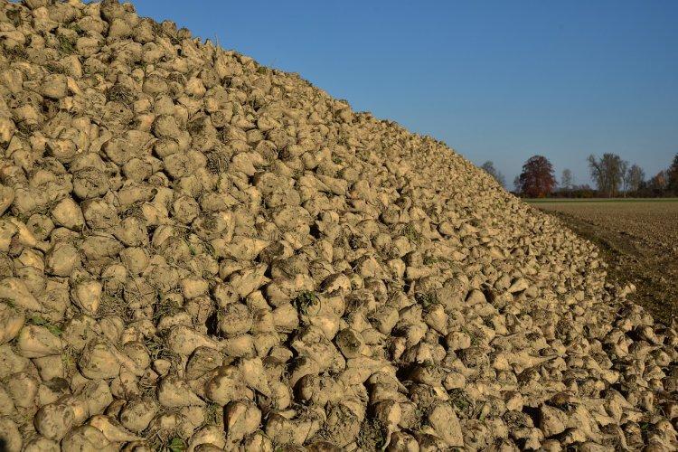 Темпы уборки сахарной свеклы в Башкирии гораздо выше прошлогодних
