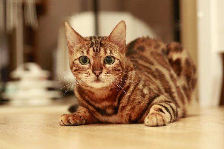 Пять самых опасных пород домашних кошек