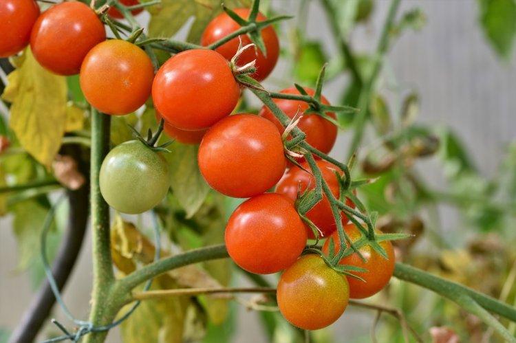 Почему медики советуют есть помидоры мужчинам?