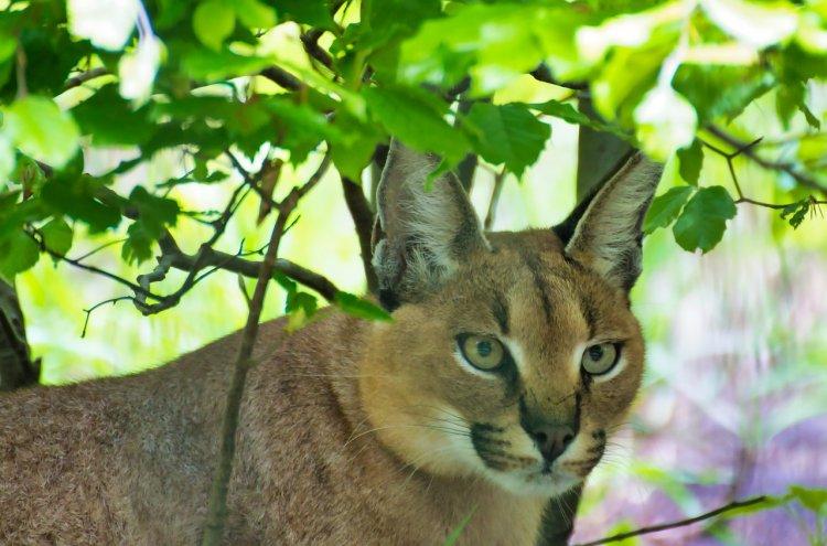 Топ-5 самых агрессивных пород кошек