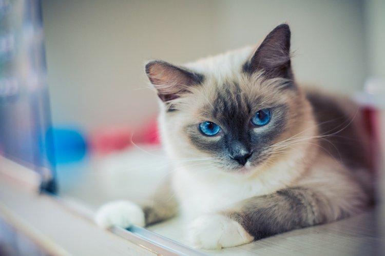 Какая порода кошек подходит вашему знаку Зодиака