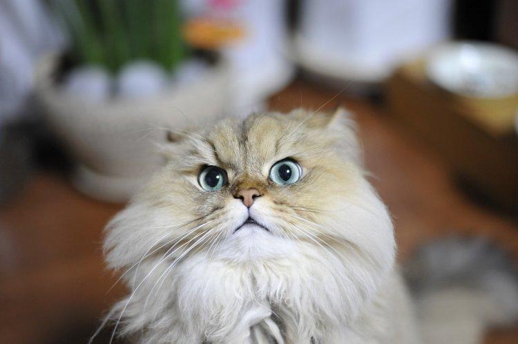 10 самых глупых пород кошек