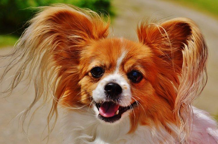 Топ-10 самых долгоживущих пород собак