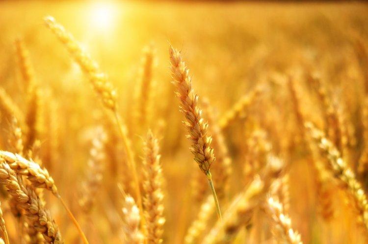 Башкирские ученые создали новый сорт озимой пшеницы