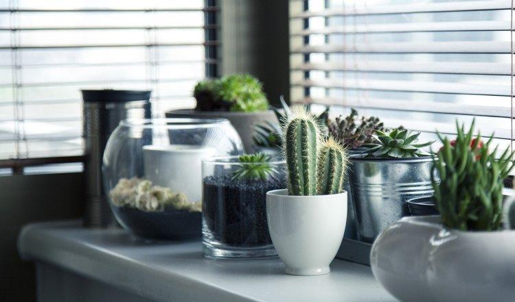 Можно ли держать дома кактусы: приметы и народные поверья