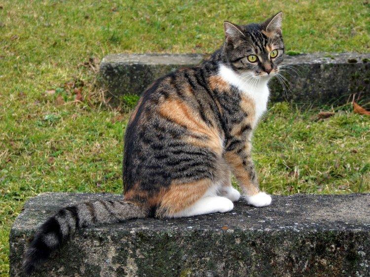 Как трёхцветная кошка влияет на энергетику дома: приметы и суеверия