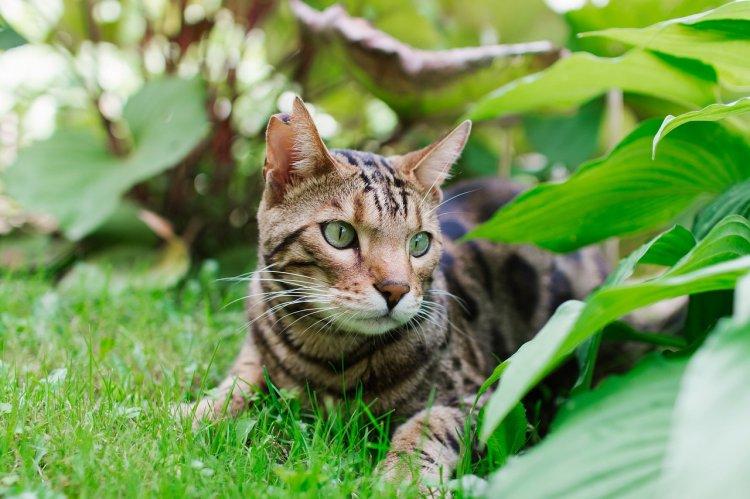 4 породы кошек, не склонных к заболеваниям